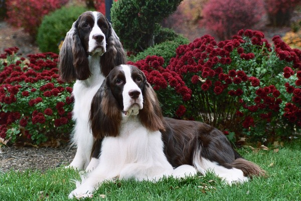 Snow Hill English Springer Spaniels